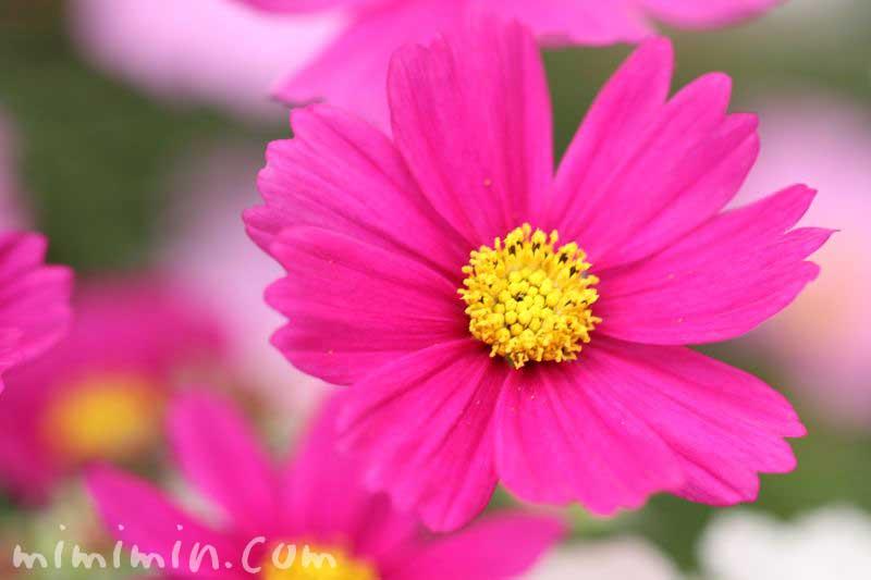 濃いピンク色の秋桜の花の写真