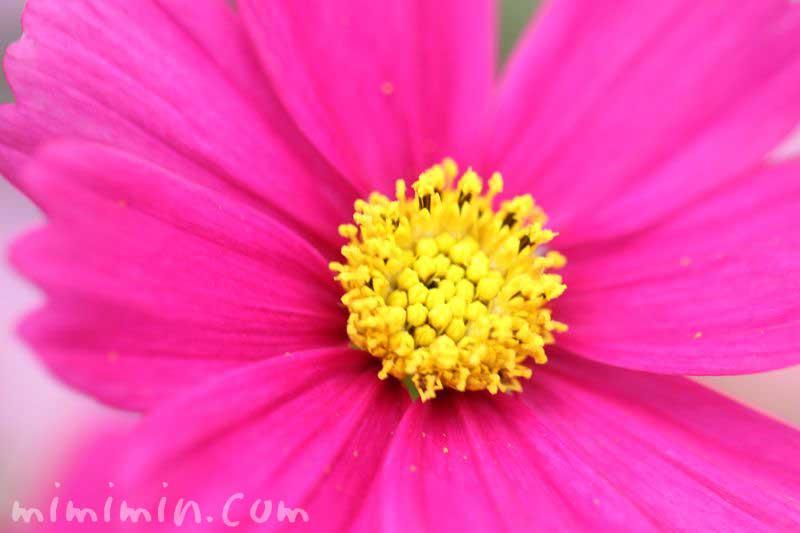秋桜 濃ピンクの画像
