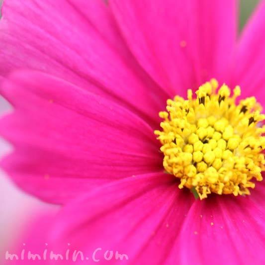 秋桜の花 濃ピンクの写真
