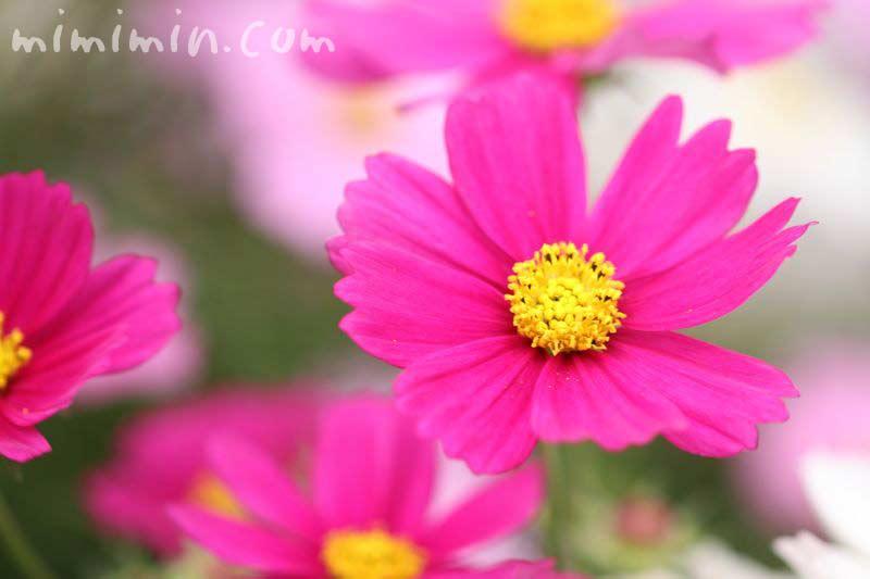 コスモスの花 濃ピンクの写真