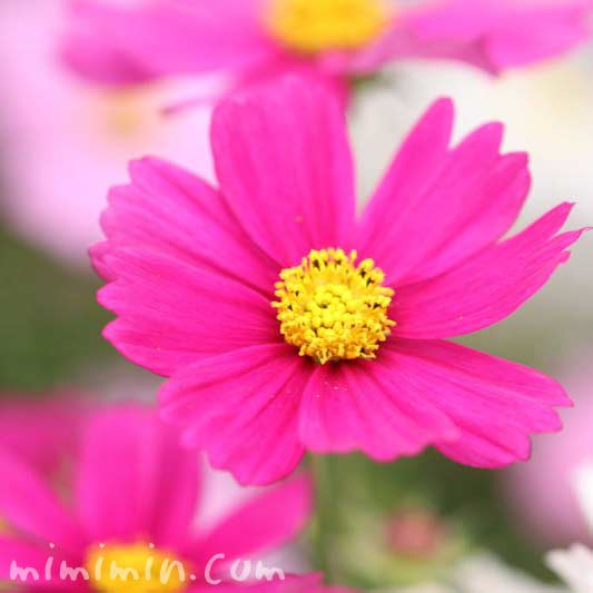 コスモス 濃ピンクの画像