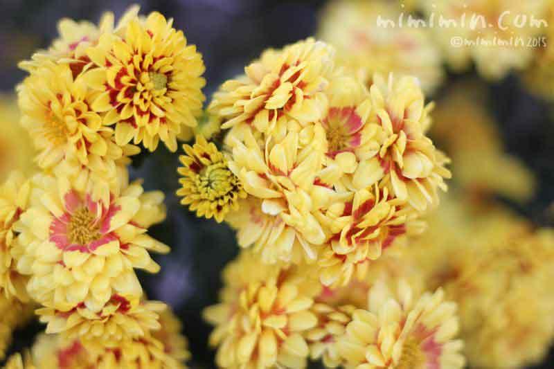 スプレーマム(黄色×赤のバイカラー)の画像