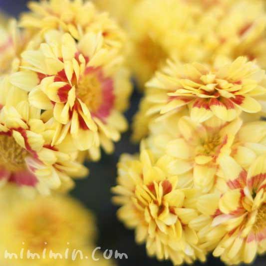 スプレー菊(黄色×赤)の画像