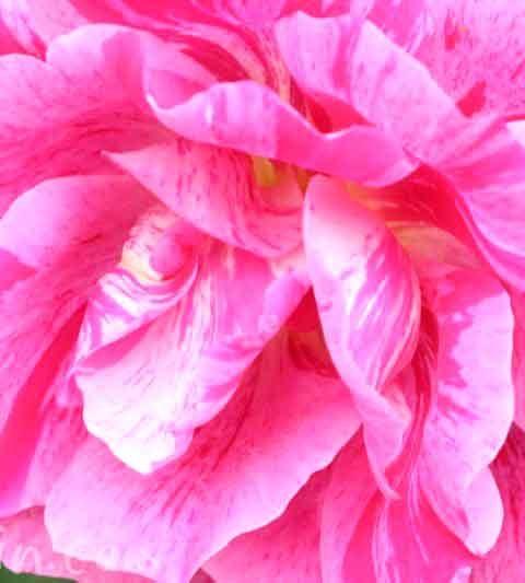 お散歩フォト・バラ|花言葉・誕生花