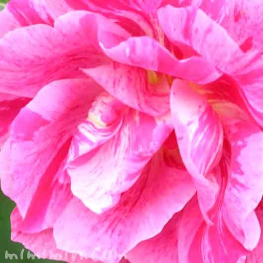 バラの花(ピンク×白)の画像