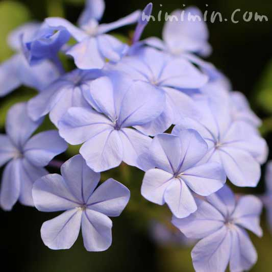 瑠璃茉莉の花