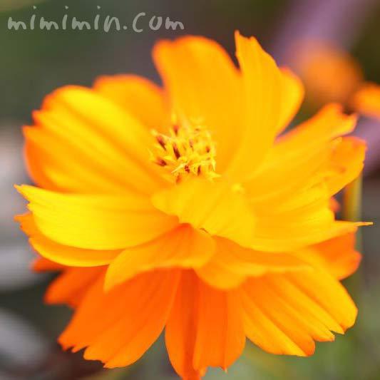 キバナコスモスの花(オレンジ色)の画像