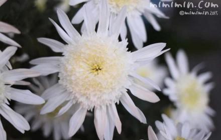 マーガレット(白・八重咲き)の画像