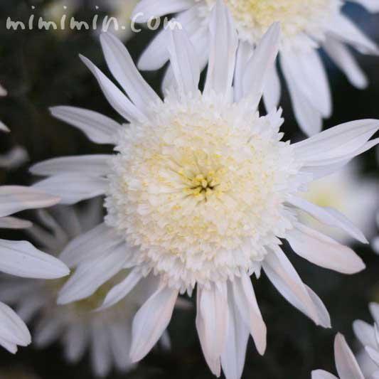 白い菊の花の画像