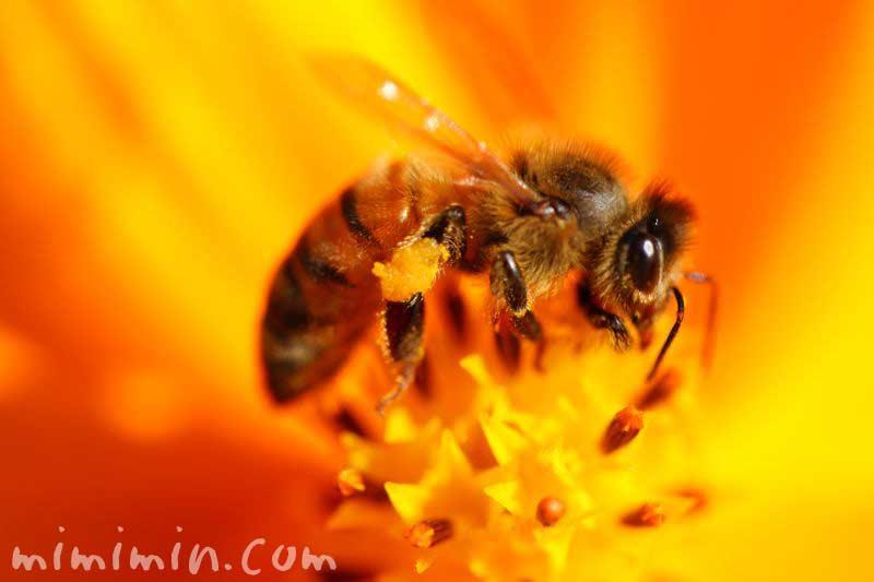 ハチとキバナコスモスの画像