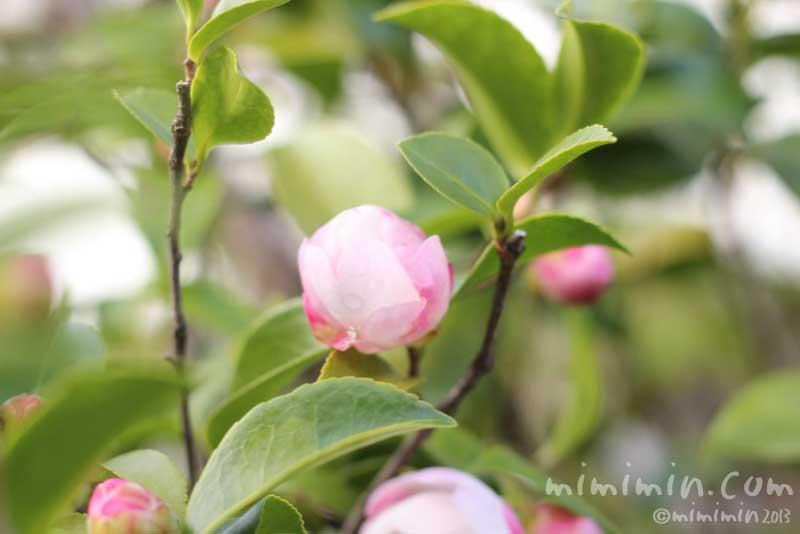 サザンカのつぼみ(白×ピンク)の画像