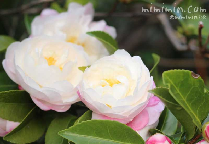 ふんわりとしたサザンカの花の写真