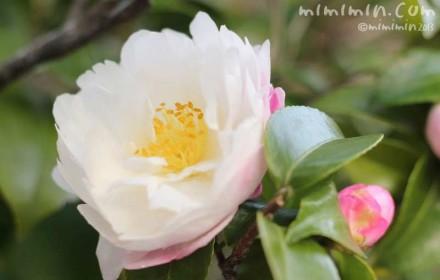 サザンカの花の写真(白の八重咲き)