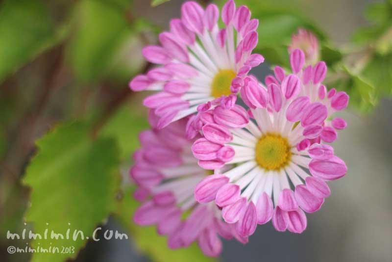 フウシャギク(風車菊)の写真