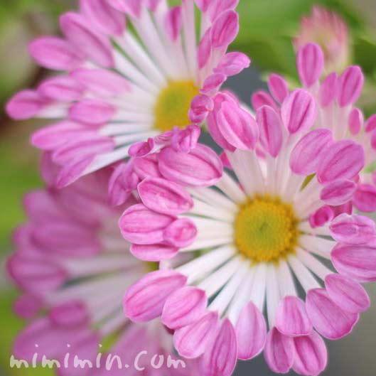 フウシャギク(風車菊)の花の画像