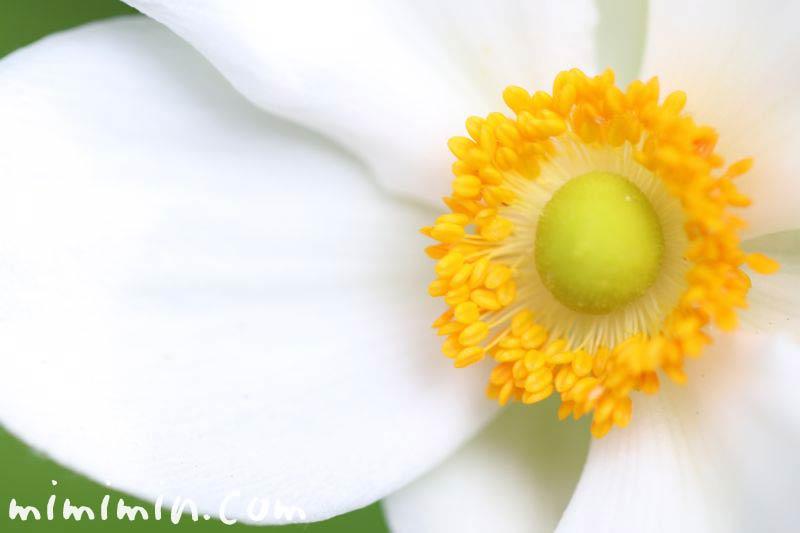 秋明菊の白い花の写真