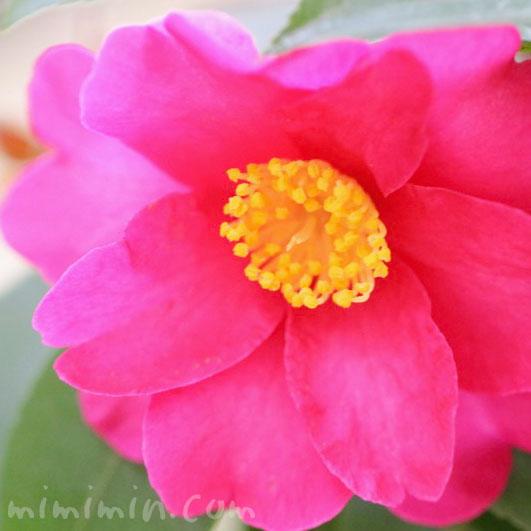 サザンカの濃いピンクの花
