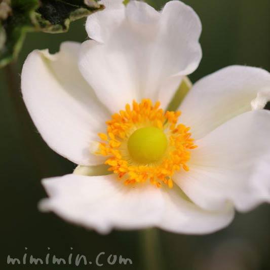 白い秋明菊の花の画像