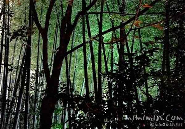 竹のライトアップの画像