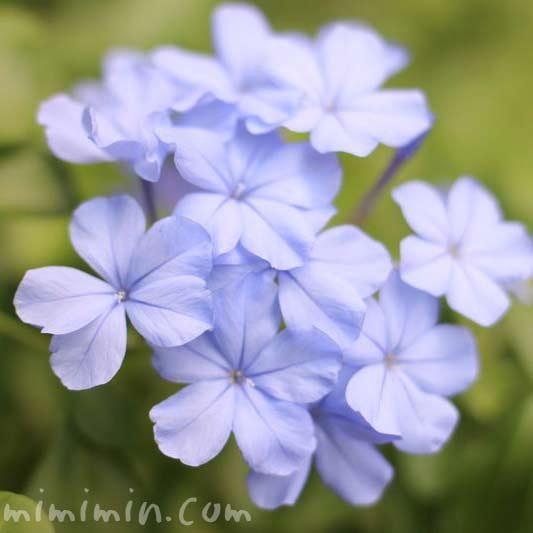 瑠璃茉莉の花(ルリマツリ)の写真