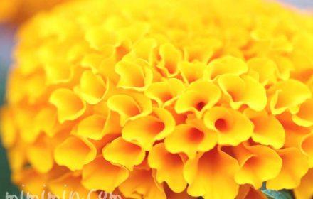 アフリカン マリーゴールド(黄色)の画像