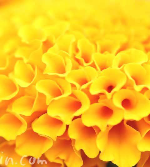 マリーゴールドの花の写真(アフリカン マリーゴールド・フレンチ マリーゴールド)