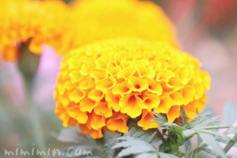 アフリカン マリーゴールドの花の写真