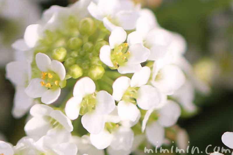 アリッサム(スイート アリッサム)・白の写真