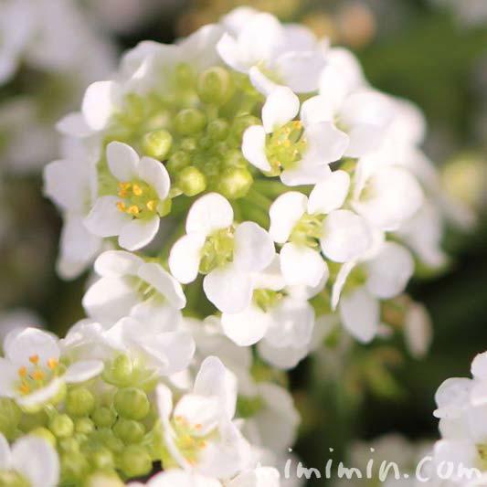 アリッサム(スイート アリッサム)の花の画像