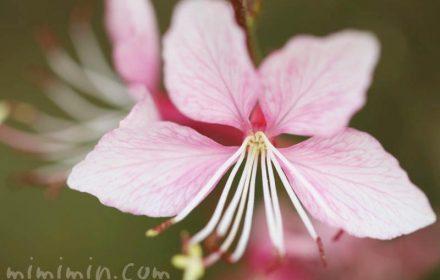 ガウラ・ピンクの写真