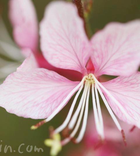 ハクチョウソウ(白蝶草)の花言葉・花の写真・名前の由来|ガウラ