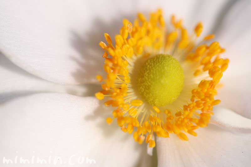 シュウメイギクの誕生花の写真