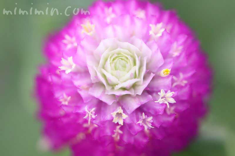 千日紅・赤紫の写真