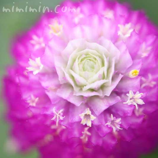 千日紅の花・赤紫の画像