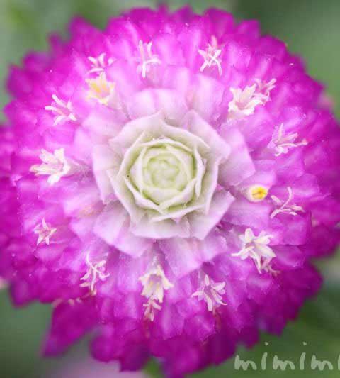 千日紅(センニチコウ)の花の写真・花言葉・効能・誕生花
