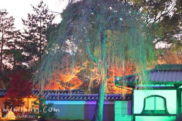 シダレザクラのライトアップの写真