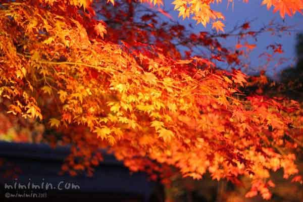京都高台寺の紅葉のライトアップの画像