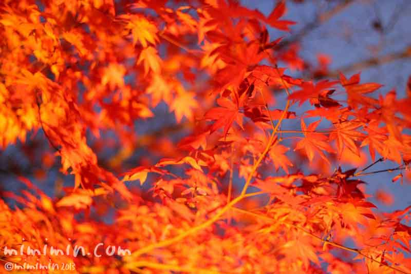 紅葉のライトアップの画像