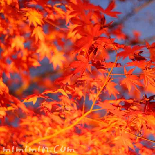 高台寺の紅葉のライトアップの画像