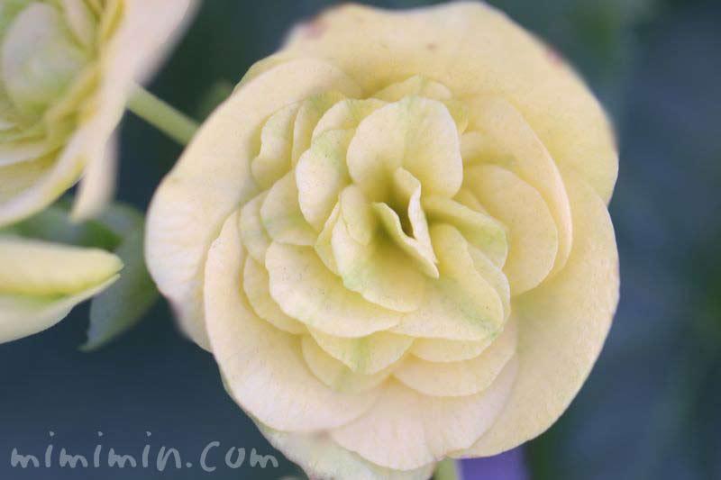 エラチオールベゴニア・クリーム色の画像
