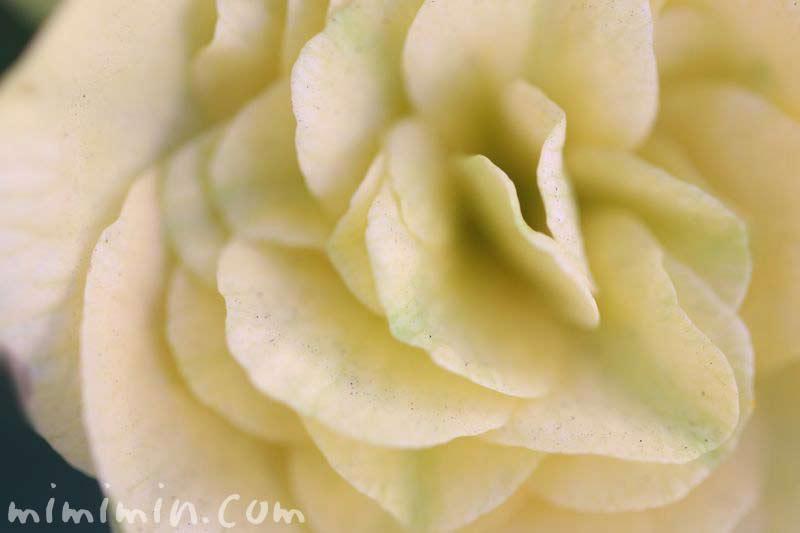 リーガースベゴニア・クリーム色の写真