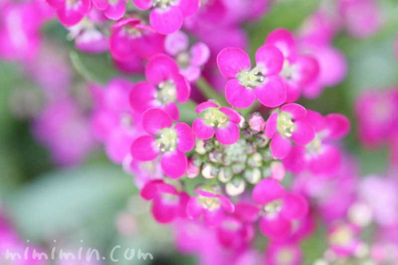 スイートアリッサム(ピンク色)の花の写真と花言葉