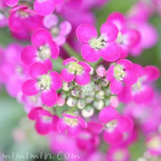 ピンク色のアリッサムの花の写真・花言葉の画像