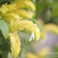 コエビソウ(黄色)の画像