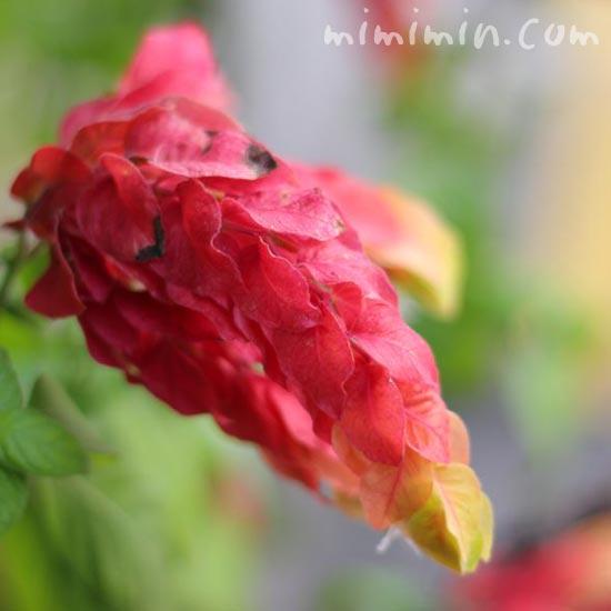 ベロペロネの花の写真(コエビソウ)