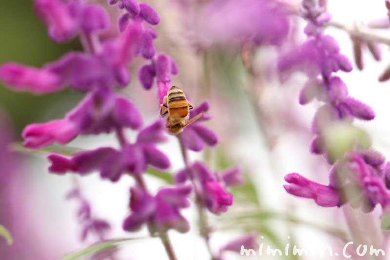 アメジストセージと蜂
