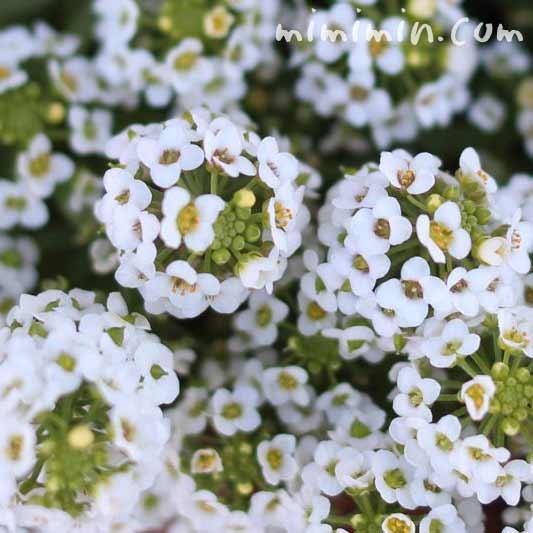 アリッサムの花(スイート アリッサム)の写真