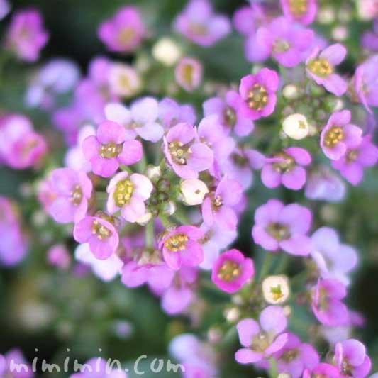 アリッサム(ピンク)の花の写真
