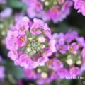 アリッサムの花の写真