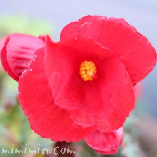 球根ベゴニアの花の写真